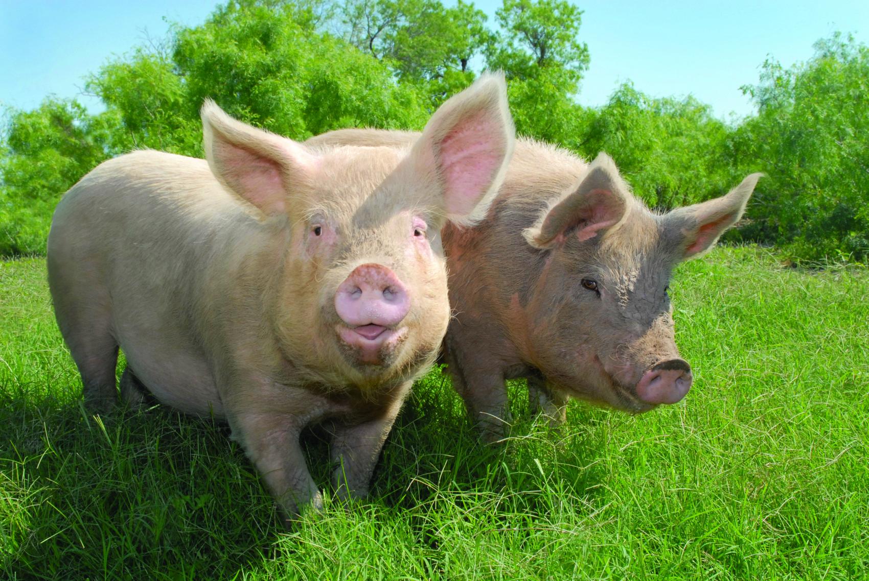 happy pigs   Ireland Before You Die