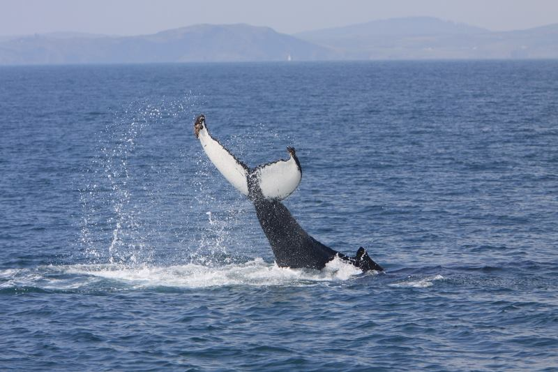 The Wild Atlantic Way is home to incredible sea life, including whales