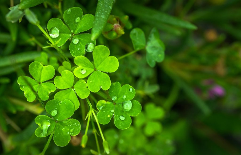 facts about the shamrock