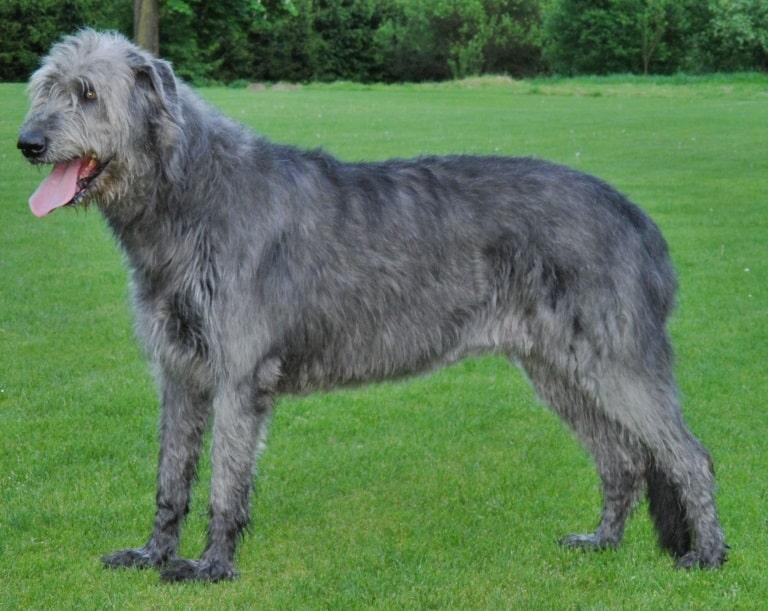 The Irish Wolfhound is native to Ireland