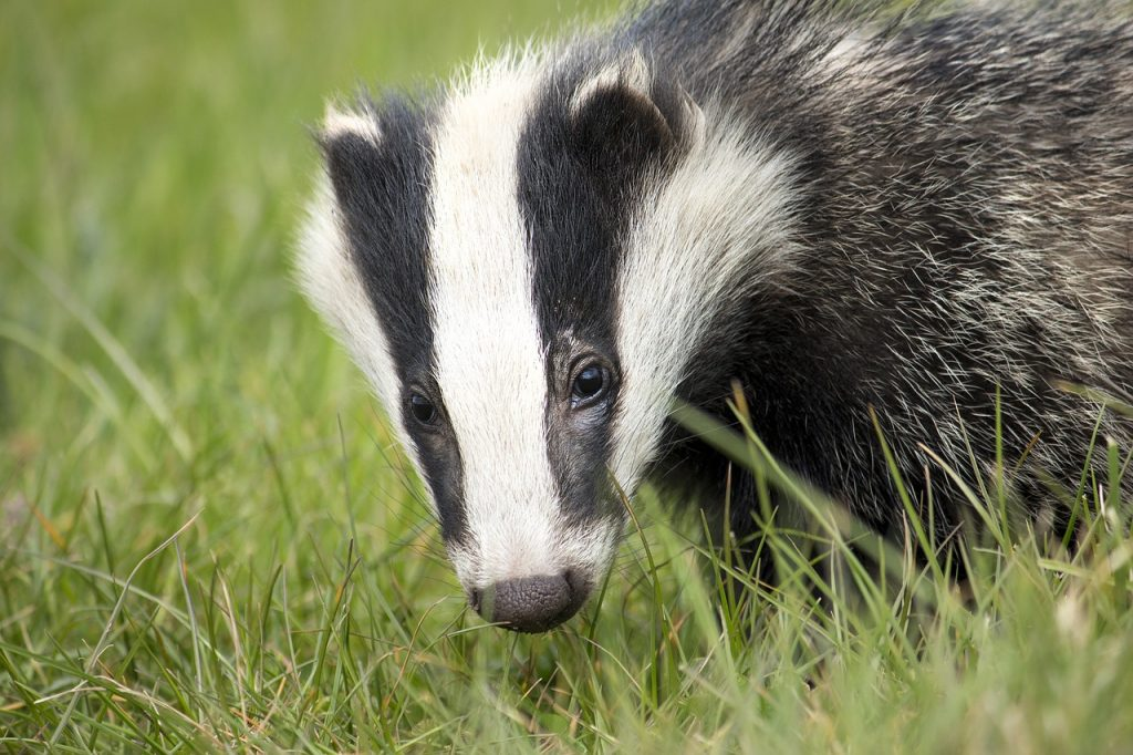 The badger is one of the top 10 animal species native to Ireland