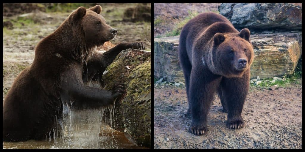 Brown bears are back in Ireland after thousands of years of extinction