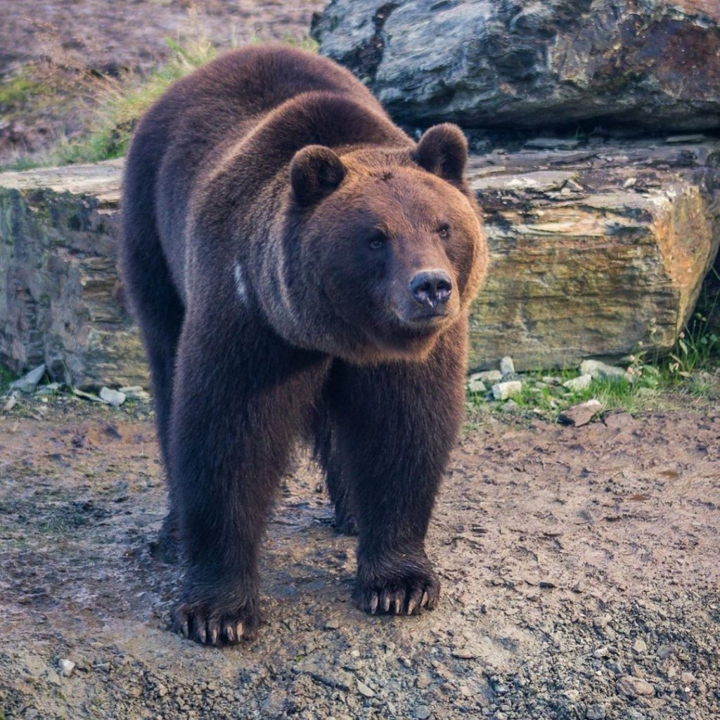 Brown bears are back in Ireland at the Wild Ireland sanctuary