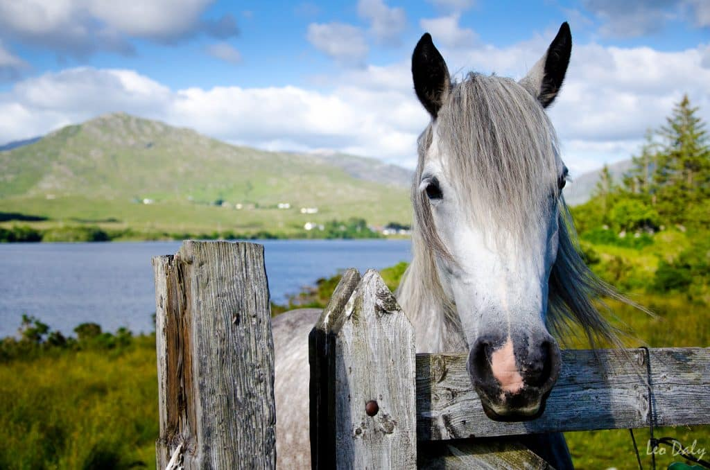 The Connemara pony is one of the top 10 animal species native to Ireland