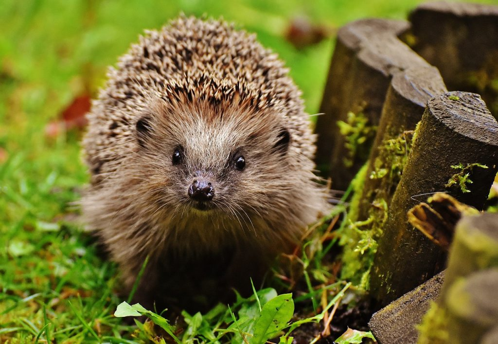 The hedgehog is one of the top 10 animal species native to Ireland