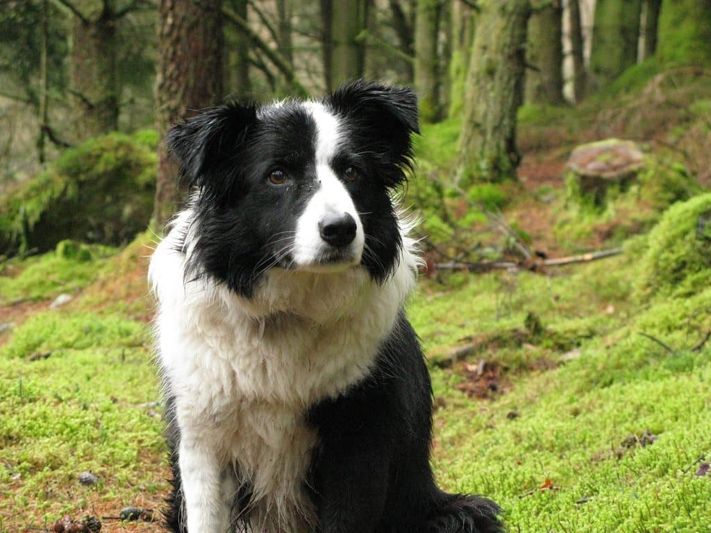 The Irish Collie is native to Ireland