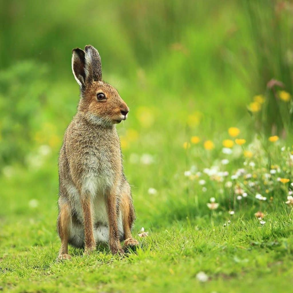 The Irish hare is one of the top 10 animal species native to Ireland