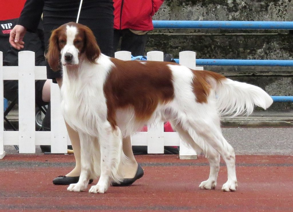 The Irish Red and White Setter is one of the top 10 native Irish dog breeds