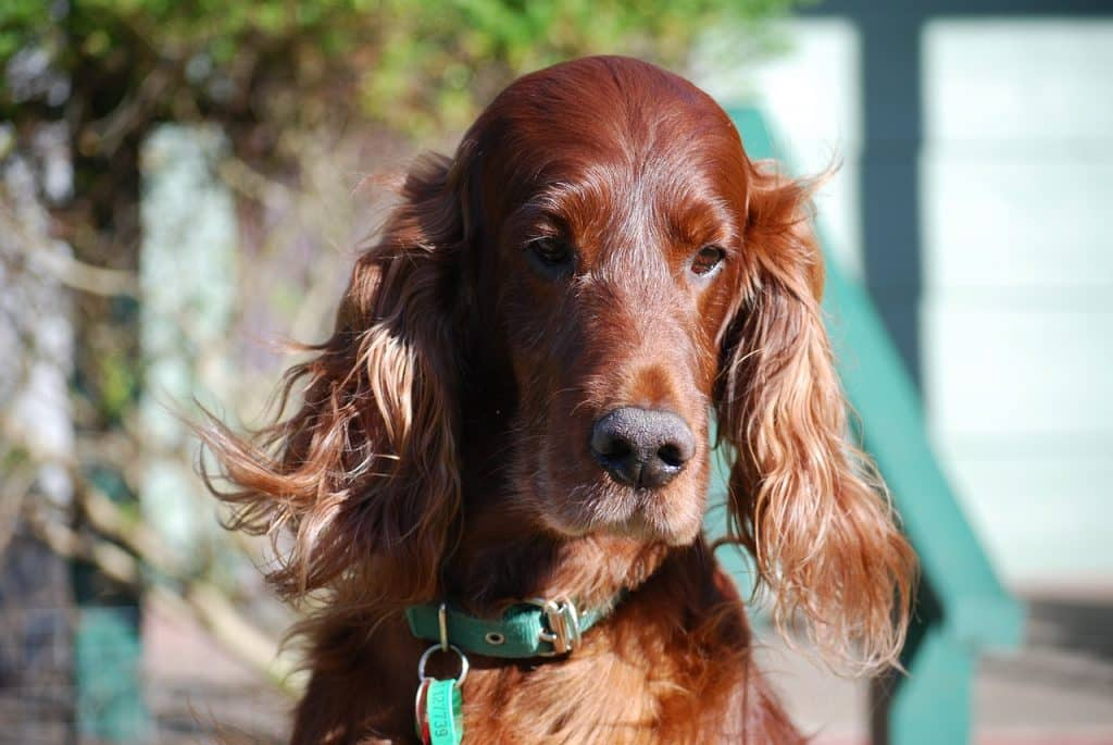 The Irish setter is one of the top 10 animal species native to Ireland