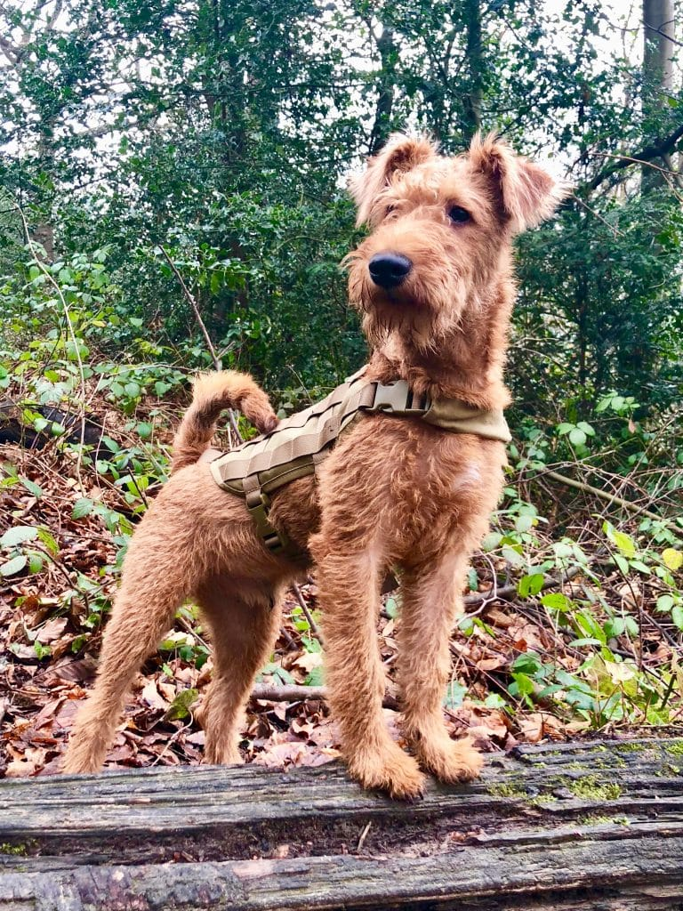 The Irish terrier is one of the top 10 native Irish dog breeds