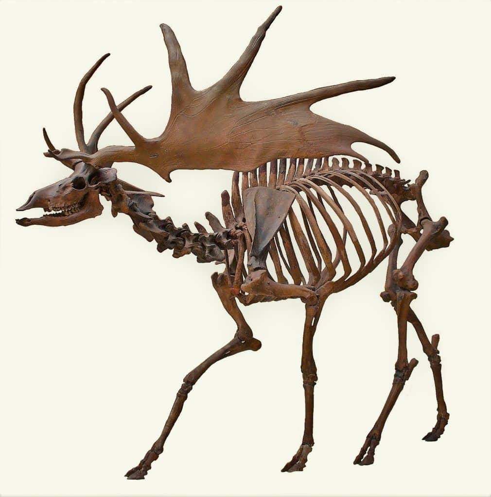 The great Irish elk is now extinct