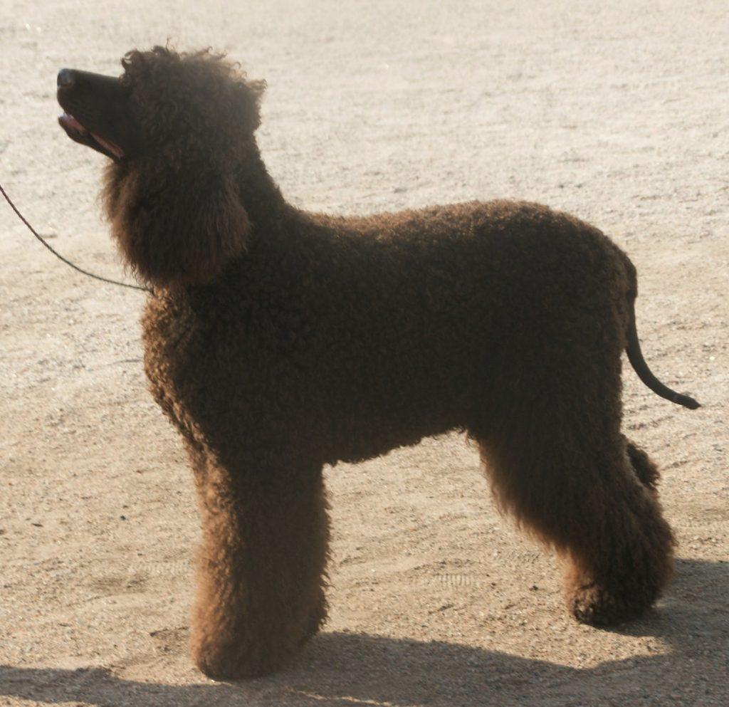 The Irish Water Spaniel is one of the top 10 native Irish dog breeds
