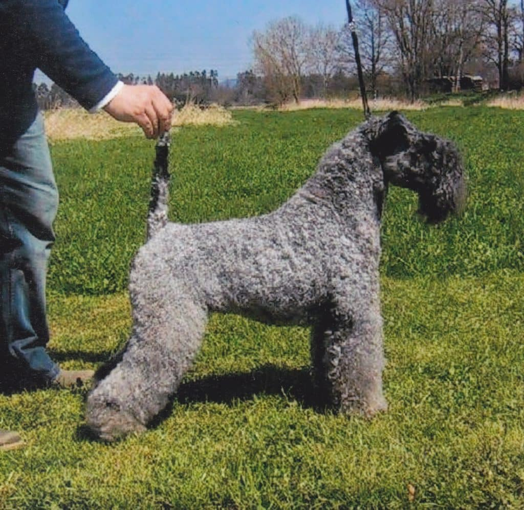 The Kerry Blue Terrier is one of the top 10 native Irish dog breeds
