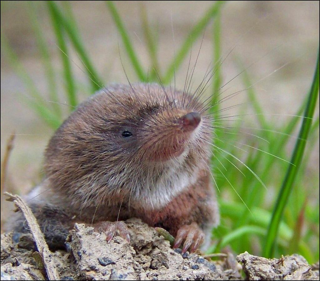 Th pygmy shrew is one of the top 10 animal species native to Ireland