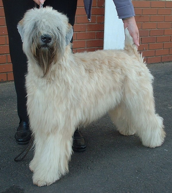 The Soft Coated Wheaten Terrier is native to Ireland