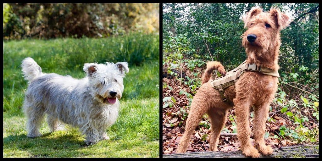 Top 10 native Irish dog breeds