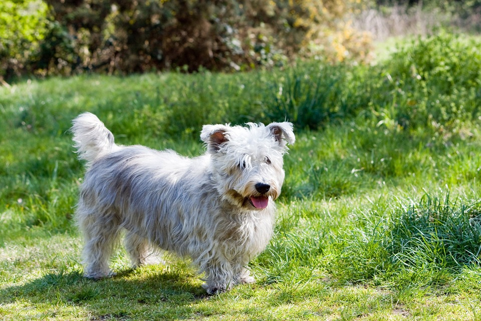 The Wickler Terrier is native to Ireland