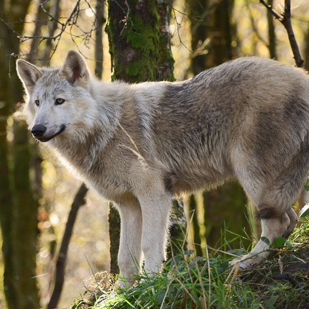 Wolves also live at the Wild Ireland sanctuary