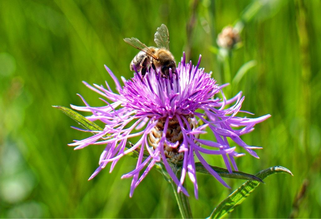Knapweed is one of the native Irish wildflowers have been allowed to grow to help the cause