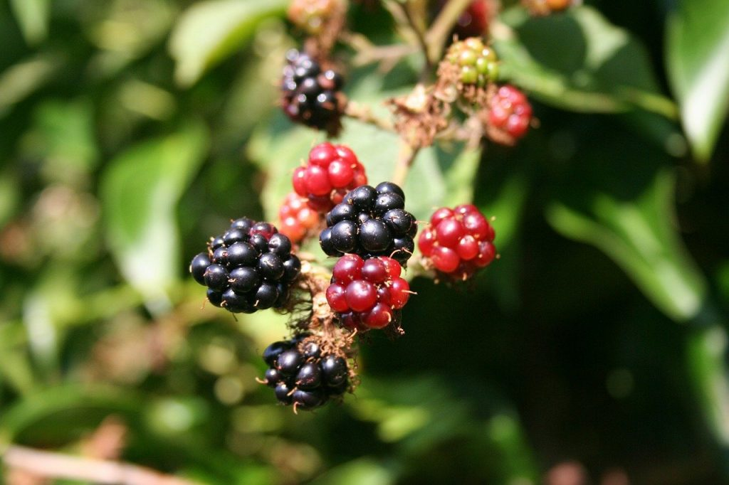 Bramble is a delicious summer treat and one of the top native Irish wildflowers.