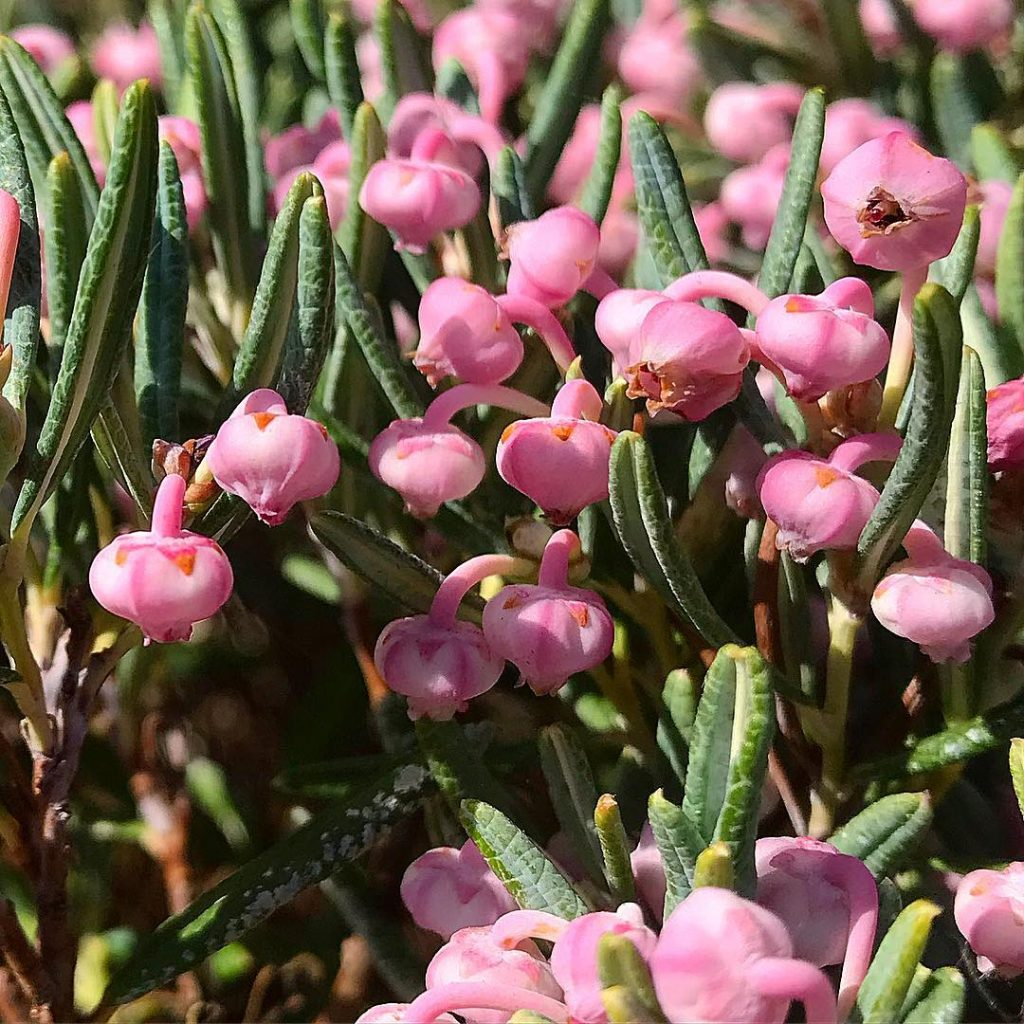 Bog rosemary is a pretty yet very poisonous plant, do not consume it.