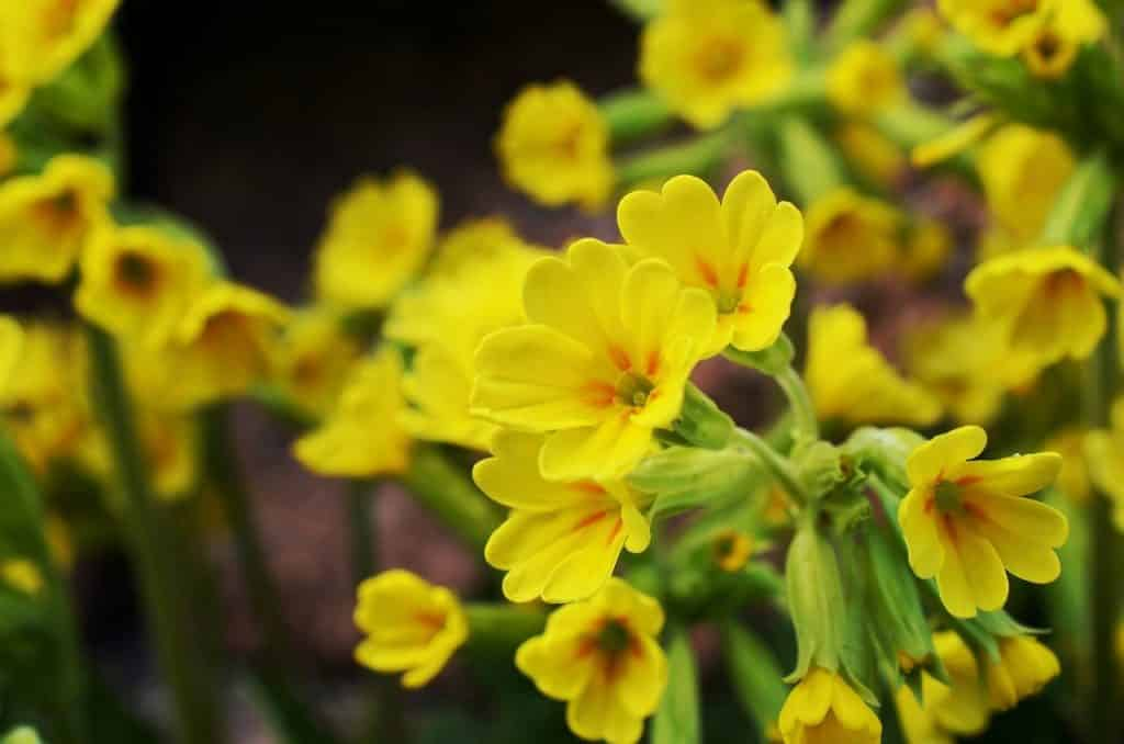 Cowslips are one of our top 10 native Irish wildflowers.