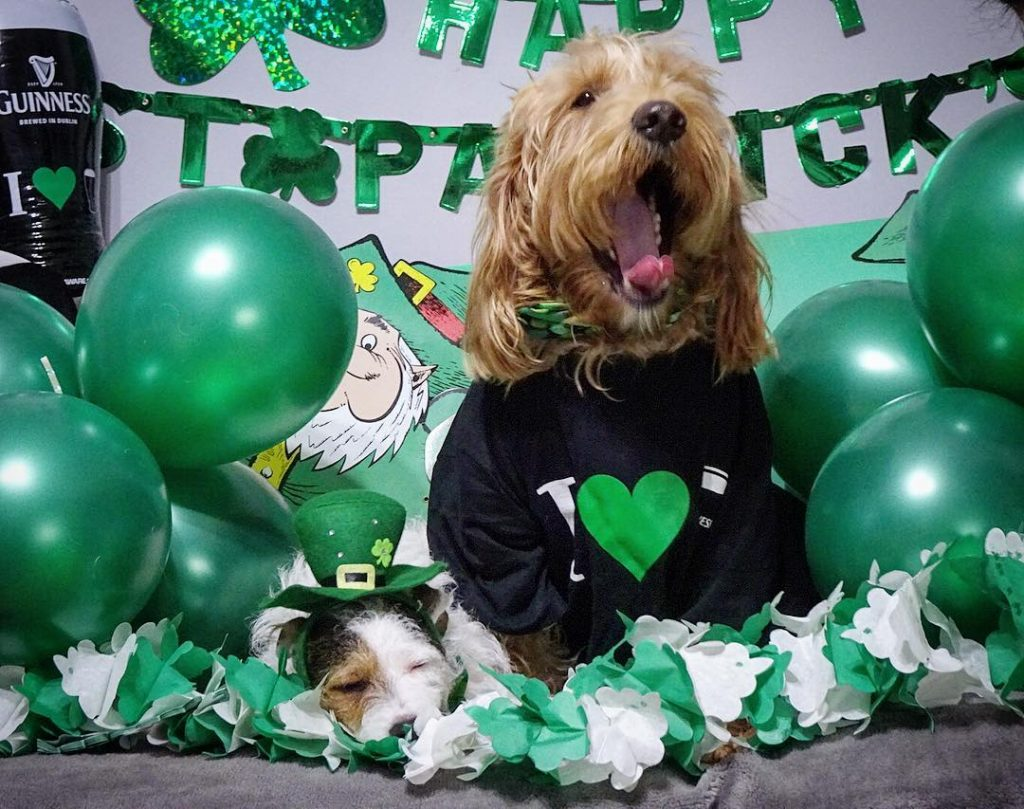 Percy and Bertie are some of the cutest dogs dressed up for St Patrick's Day.