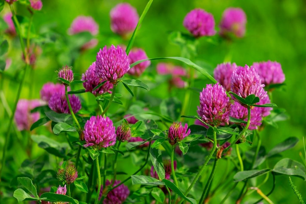 Another of our top native Irish wildflowers is red clover, useful in remedies and agriculture.