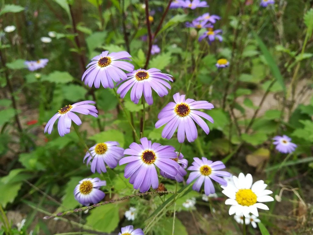 The sea aster is a beautiful purple wildflower that is visible in the summer and spring months.