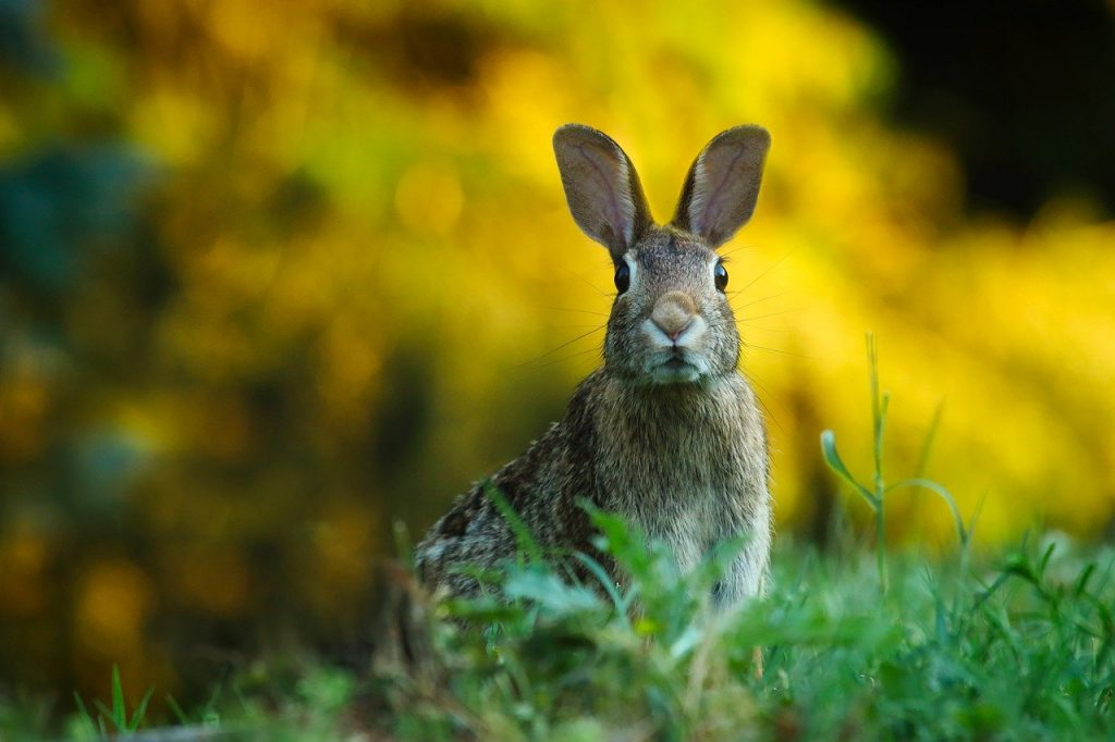 The Vikings brought rabbits to Ireland due to being easy sources of food as well as reproducing frequently.