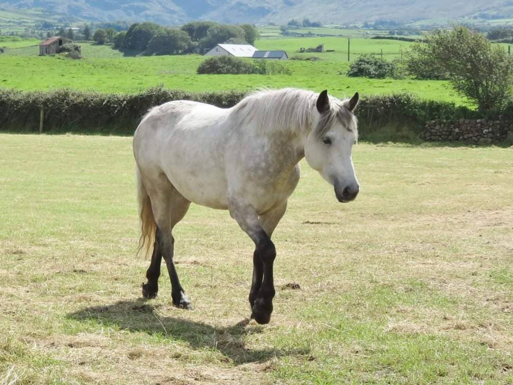The Connemara pony is a beautiful white breed, that comes in different colours too.