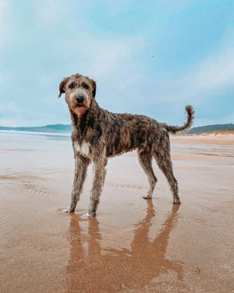 The Irish wolfhound is another of the top most popular dog breeds in Ireland .