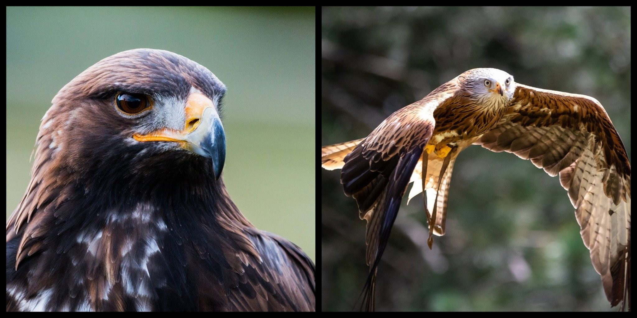 Top 5 Spectacular Birds Of Prey In Ireland And Where To See Them