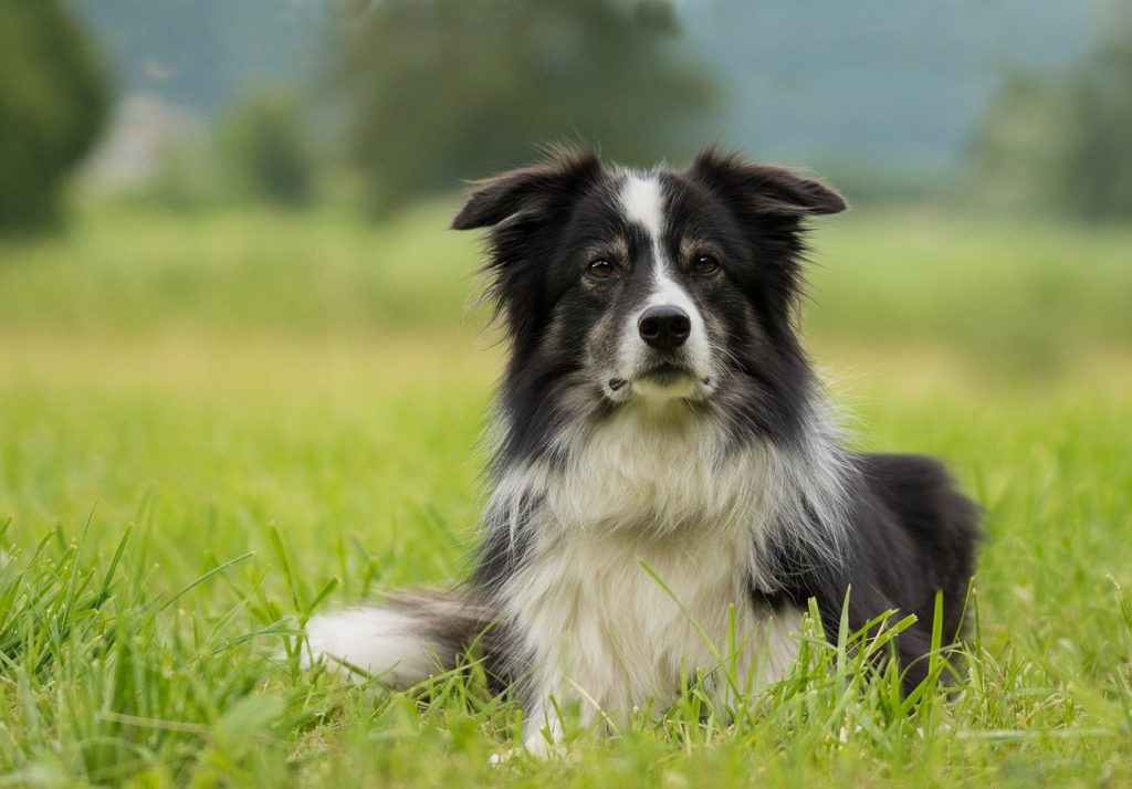 Everyone loves a border collie, one of the most intelligent breeds.