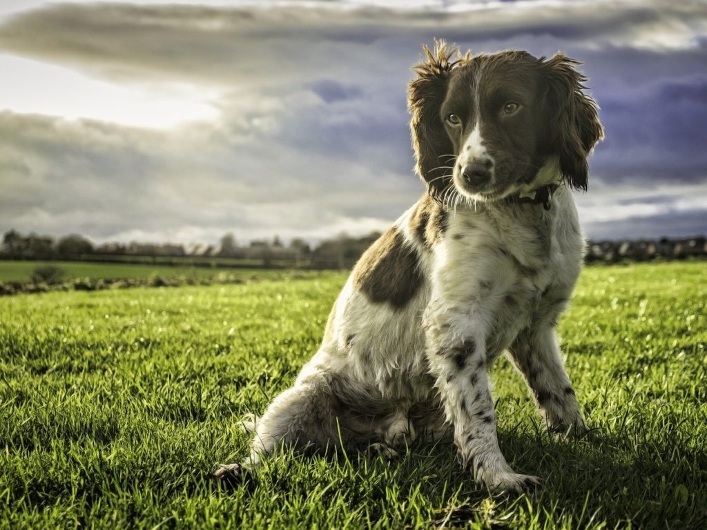 The springer spaniel is another of the top most popular dog breeds in Ireland .