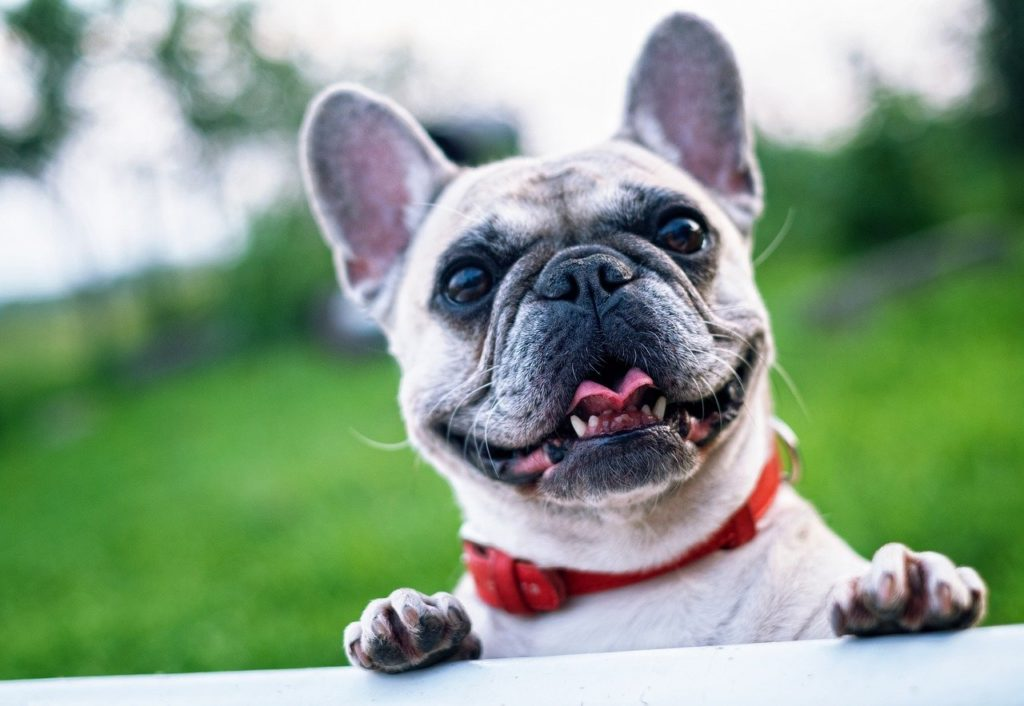 Another of our top most popular dog breeds in Ireland is the French bulldog.
