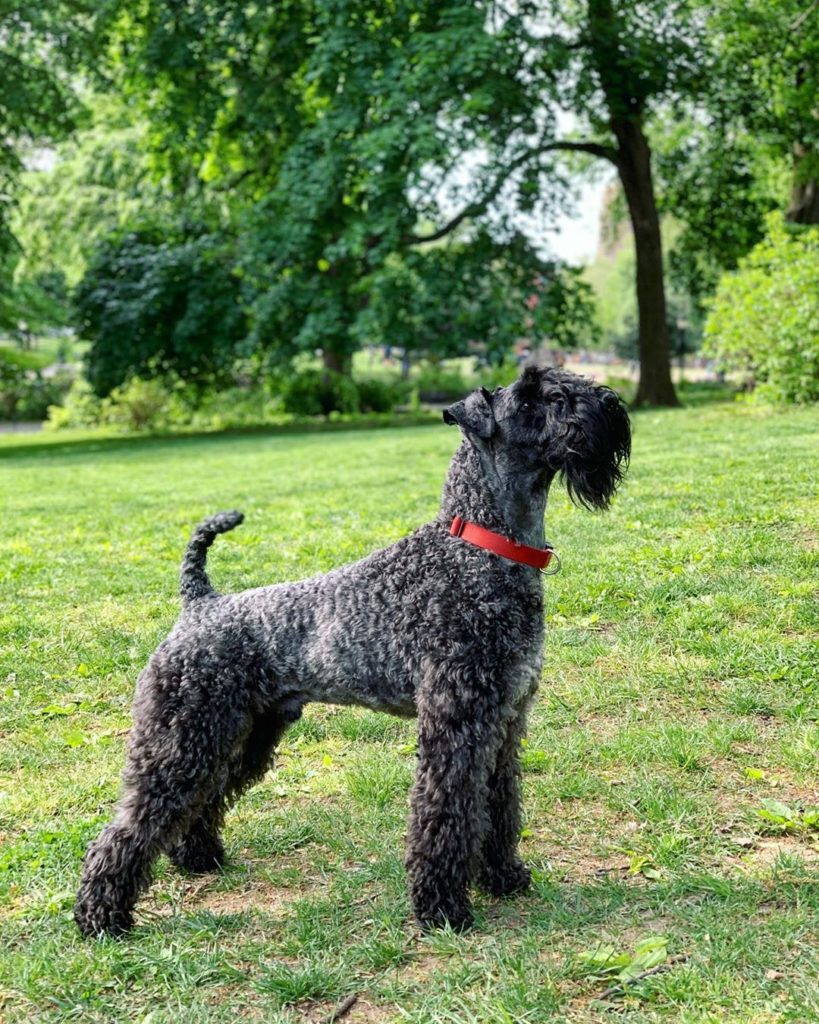 The Irish blue terrier is another common dog on our shores.