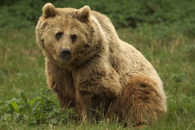 The brown bear is one of the extinct animals in Ireland.