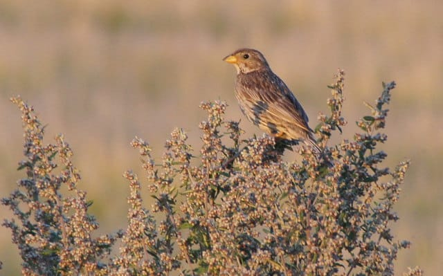 The corn bunting is nowhere to be found in Ireland.