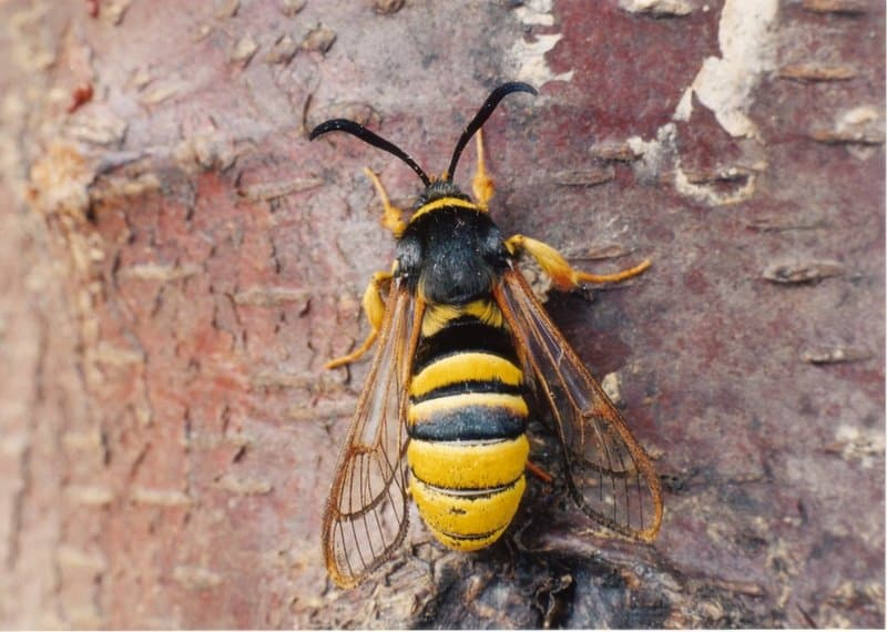 Hornet moth is number eight on our list of extinct animals in Ireland.