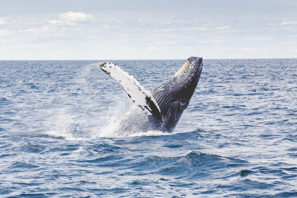 The gray whale is number six on our list of extinct animals in Ireland.