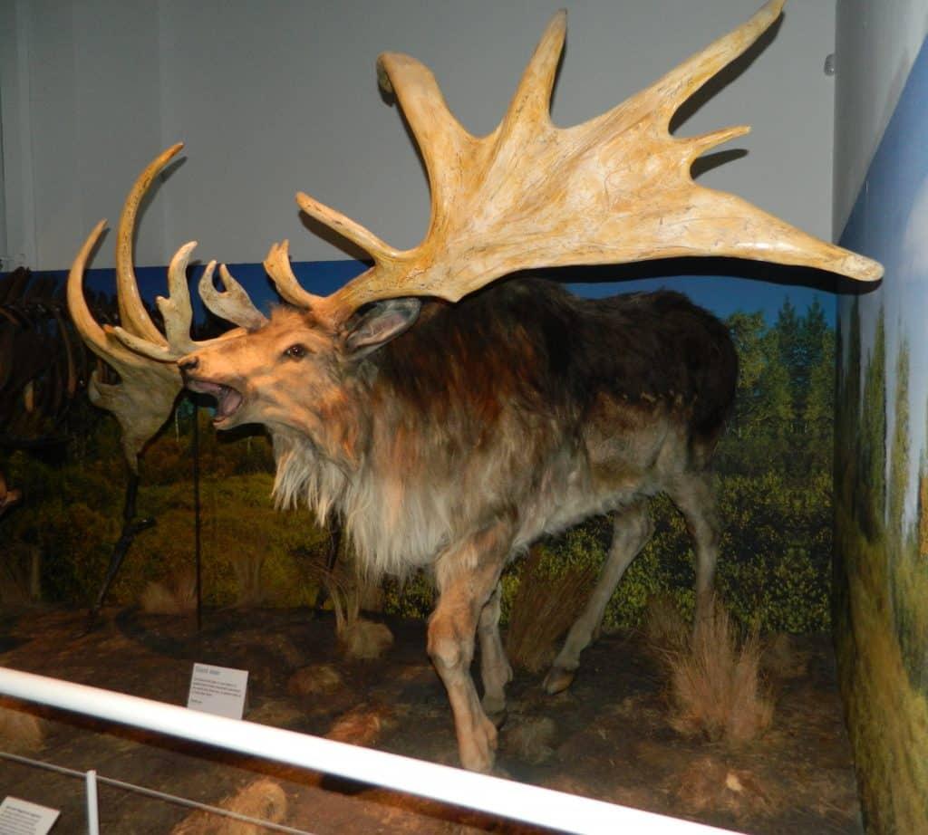 The Irish elk is one of the extinct animals in Ireland.