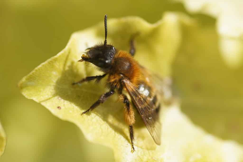 The solitary bee is the mysterious missing bee of Ireland.
