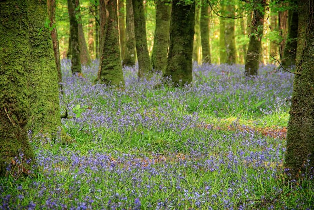 Derreen Woods is a must-visit for the bluebells.