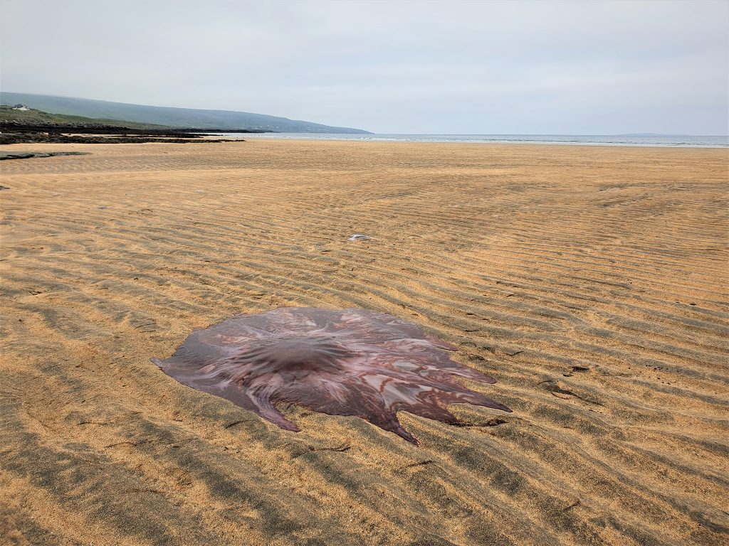 The incredible Lion's Mane Jellyfish washed up on the Irish beach last week.
