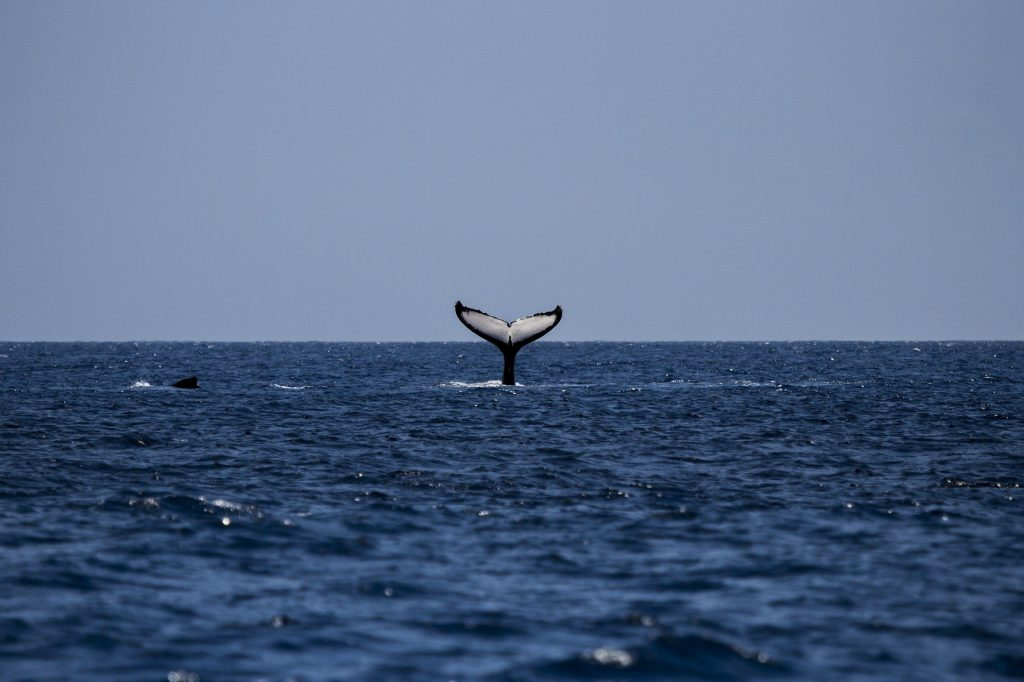 An incredible blue whale has been spotted in Irish waters.